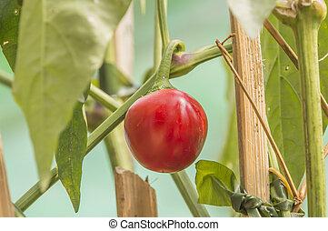 Sweet red Pepper in a greenhouse closeup
