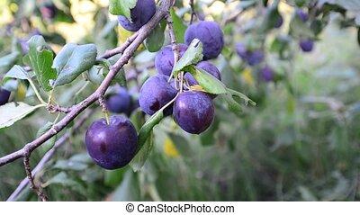 Sweet ripe blue plum on branch