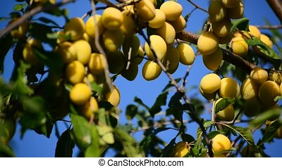 Sweet ripe yellow plum on branch against the blue sky
