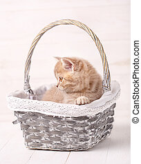 Sweet Scottish cream color kitty siting in a wicker basket. Portrait of a cat. Cat at home