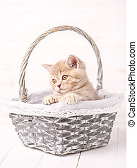 Sweet Scottish cream color kitty siting in a wicker basket. Portrait of a cat.
