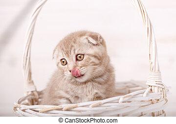 Sweet Scottish kitten in a wicker basket shows a tongue