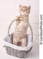 Sweet Scottish kitten playing in a wicker basket