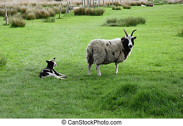 Sweet Sheep and Lamb in a Large Grass Pasture
