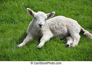 Sweet Sleepy Lamb Laying in a Grass Field