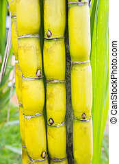sugar cane - sweet sugar cane in bundle