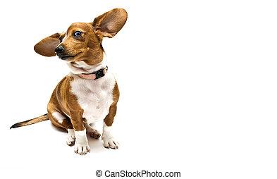 Sweet Dachshund ( teckel ) dog sitting on a white background