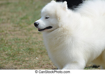 Adorable white American Eskimo dog with his eyes closed.
