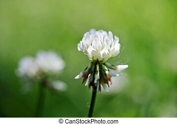 Sweet white clover blossoms