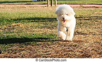 Sweet White Dog Walking on a Grass