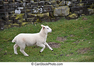 Sweet White Lamb Running in a Grassy Field