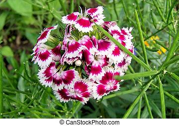 Sweet William- Dianthus Barbatus - One of the beautiful ...