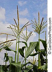 Sweetcorn - Corn growing in the field