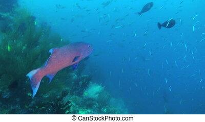 Sweetlips Fish - Giant Sweetlips, Plectorhinchus...