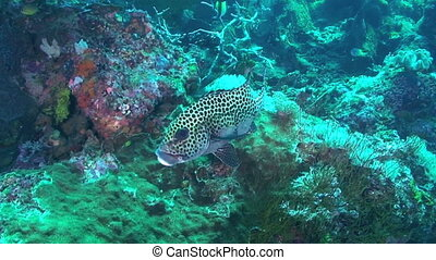 Sweetlips Fish - Harlequin sweetlips aka Many-spotted...