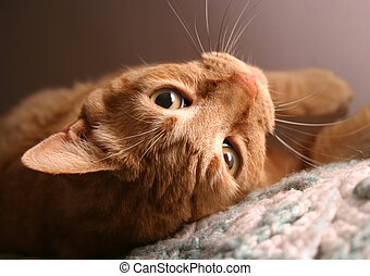 Sweetpea Upside Down - Orange tabby cat, closeup of face,...