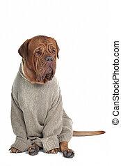 sweter, pies, mądry