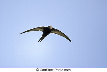 Swift, Apus apus, single bird in flight, Oxfordshire, April ...