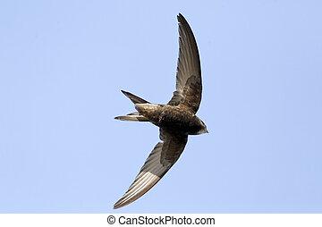 Swift, Apus apus - Common swift, Apus apus, single bird in...