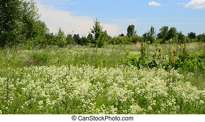 Swift birds fly over a green blossoming meadow - Swift birds...