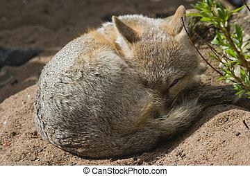 Swift fox resting in the sun but keeping an eye open