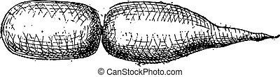 Swim Bladder, of a Fish, vintage engraving - Swim Bladder,...