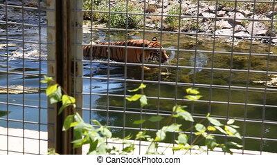 tiger - swiming tiger, shooting Canon 5D MarkII