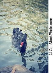 Swimming a black swan.
