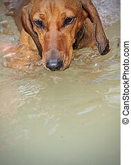 Swimming a Dachshund, rehabilitation after injuries,...