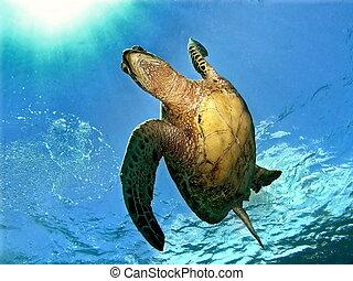 Swimming along - Hawaiian Green sea turtle swimming in Maui...