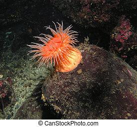 Swimming Anemone (Stomphia didemon) - A beautiful sea...