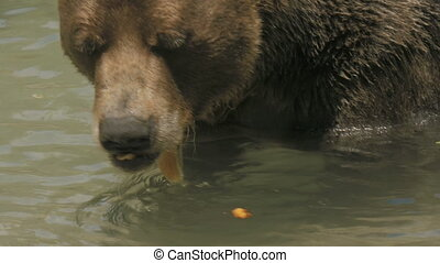Swimming Bear in 4K - Grizzly bear swimming. 4K UHD