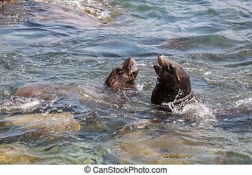 Swimming California sea lion Zalophus californianus in the...