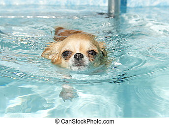 swimming chihuahua - portrait of a cute purebred chihuahua...