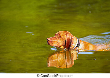 Swimming dog - Hungarian vizsla is swimming - copy space