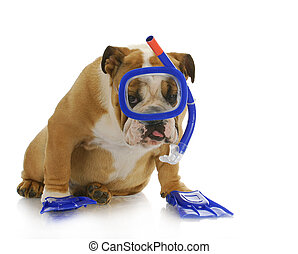 swimming dog - english bulldog wearing snorkeling mask and...