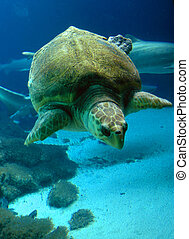 endangered Eretmochelys imbricata sea turtle swimming in clear water