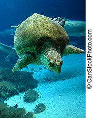 Swimming Hawksbill sea turtle - endangered Eretmochelys...