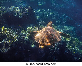 swimming hawksbill turtle at corals in red sea