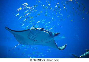 Swimming Manta ray in Okinawa