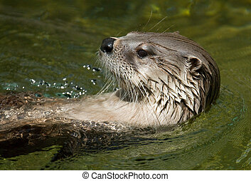 swimming otter - Otter swimming in the water.