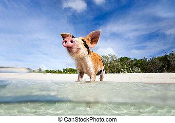 Swimming pigs of Exuma