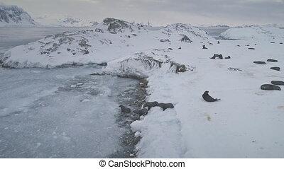 Swimming, resting seals. Antarctica landscape. - Swimming,...