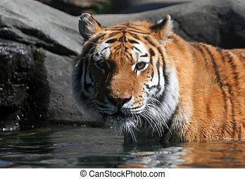 Swimming Siberian Tiger