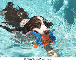 a springer spaniel swimming in a pool