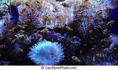 Swimming tropical fish - Swimming tropical coral fish with...