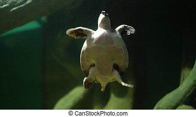 swimming turtle in big aquarium