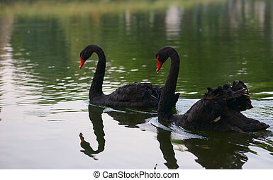 Swimming two black swans on a lake