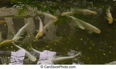 Swimming white koi fish in a pond?s clear water - A daylight...