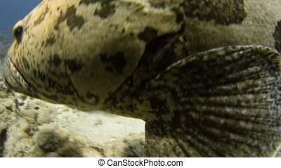 A close up shot of a potato cod swimming freely underwater. The potato cod is heading left.